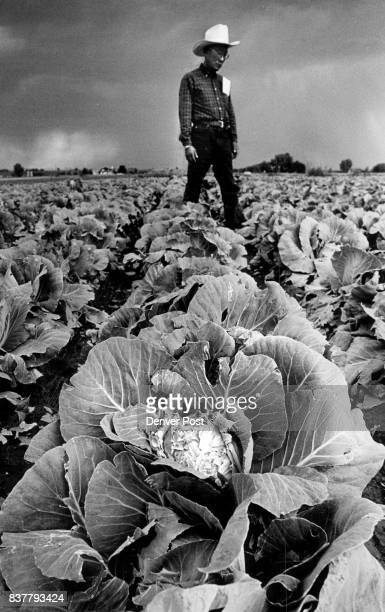 Sam Tanaka watched storm move over cabbage patch hit hard with hail Saturday evening Tanaka has 800 acres of cabbage all hit by hail 'This is ruined'...