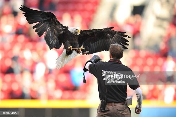 Sam the American Bald Eagle from the Cincinnati Zoo lands on his handler's arm after flying from center field during the US National Anthem at Great...
