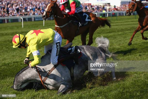Sam TwistonDavies on Politologue falls after jumping the last fence and leading the race during Doom Bar Maghull Novices' Steeple Chase at Aintree...