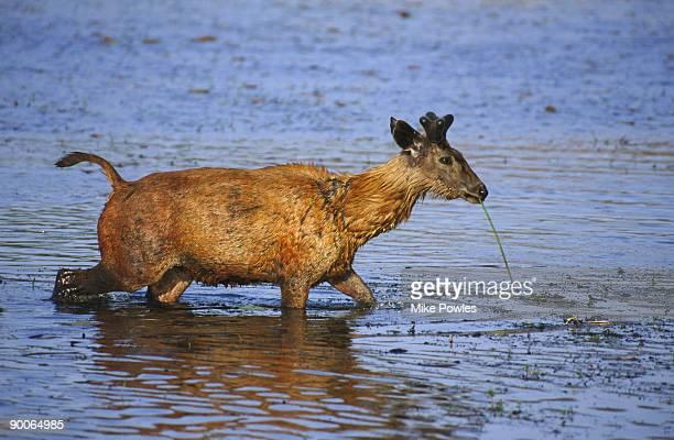sambar cervus unicolor wading rajasthan, india