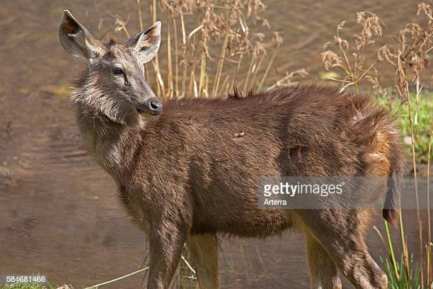 Sambar deer female at the Ranthambore National Park Sawai Madhopur Rajasthan India