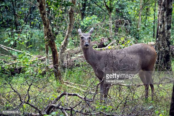 A Sambar Deer in the forest