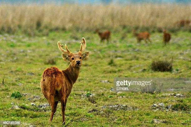 A sambar deer looks on as it grazes with its herd at Kaziranga National Park situated some 250km northeast of Guwahati on December 21 2014 The sambar...