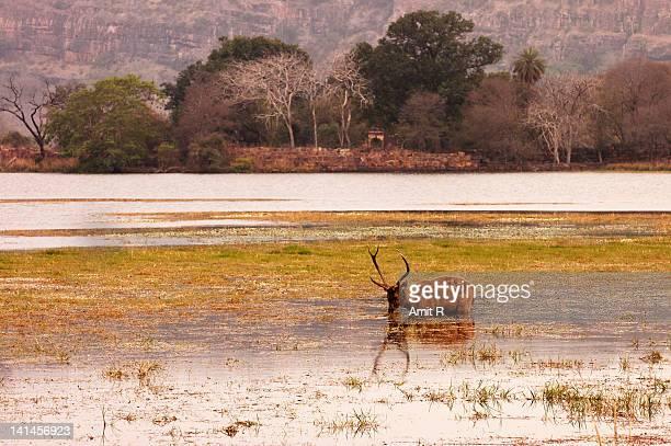 Sambar deer - Ranthambore National Park