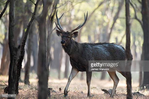 Sambar deer stag in dhok forest