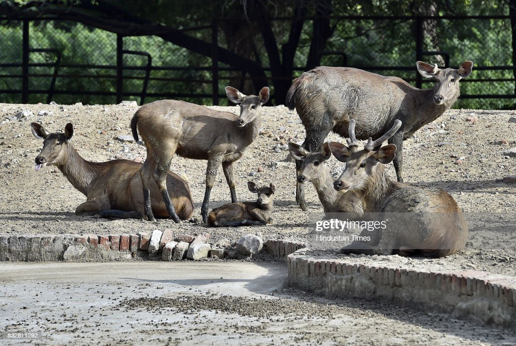 Sambar enclosure in Delhi Zoo on August 16, 2017 in New Delhi, India. A newly-born Sambar fawn rejected by its mother has been adopted by workers.