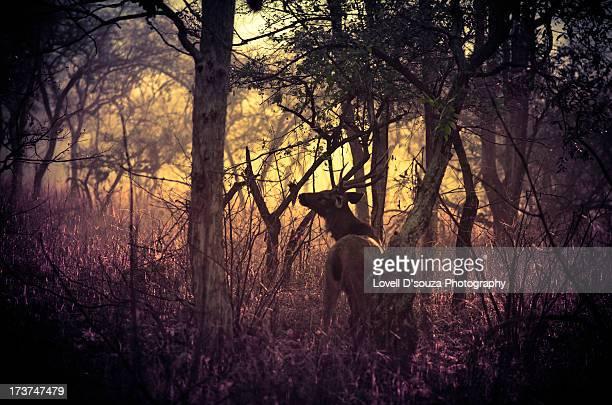 Sambar in the Forest