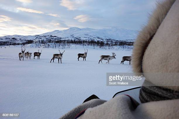 Sami herder on snowmobile checks on his herd of reindeer Troms County Norway January 27th 2016