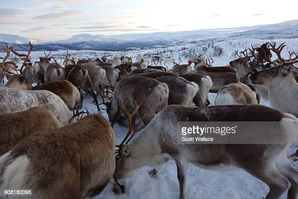 Sami herders tend to their reindeer in the Norwegian Arctic January 27th 2016