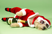 Samll Dog In Santa Costume Lying Down With Champagne and Shades