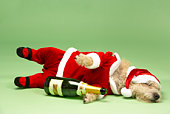 Samll Dog In Santa Costume Lying Down With Champagne Bottle
