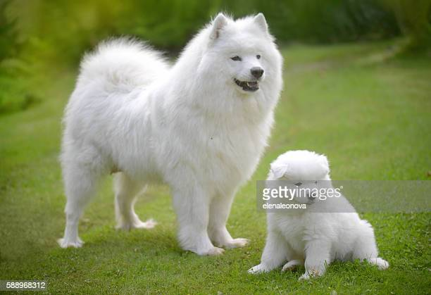 Samoyed dog on the lawn with her puppies