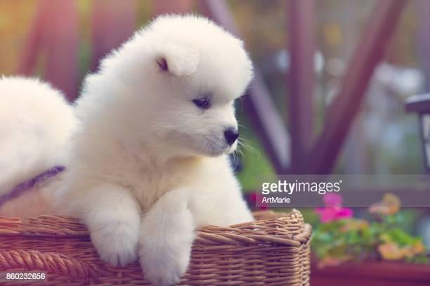 Samoyed dog puppies