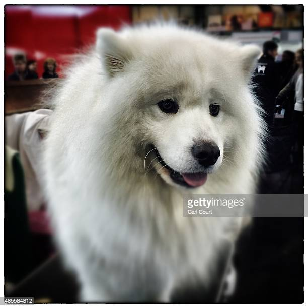 A Samoyed is pictured on the third day of Crufts dog show at the National Exhibition Centre on March 6 2015 in Birmingham England First held in 1891...