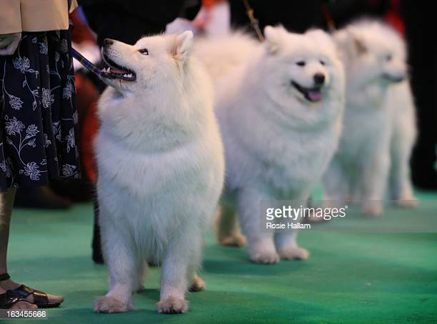 Samoyeds in the ring during the final day at Crufts Dog Show on March 10 2013 in Birmingham England During this year's fourday competition over 22000...