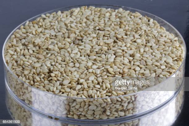 Sample container of harvested Sesame Seeds (Sesamum indicum)