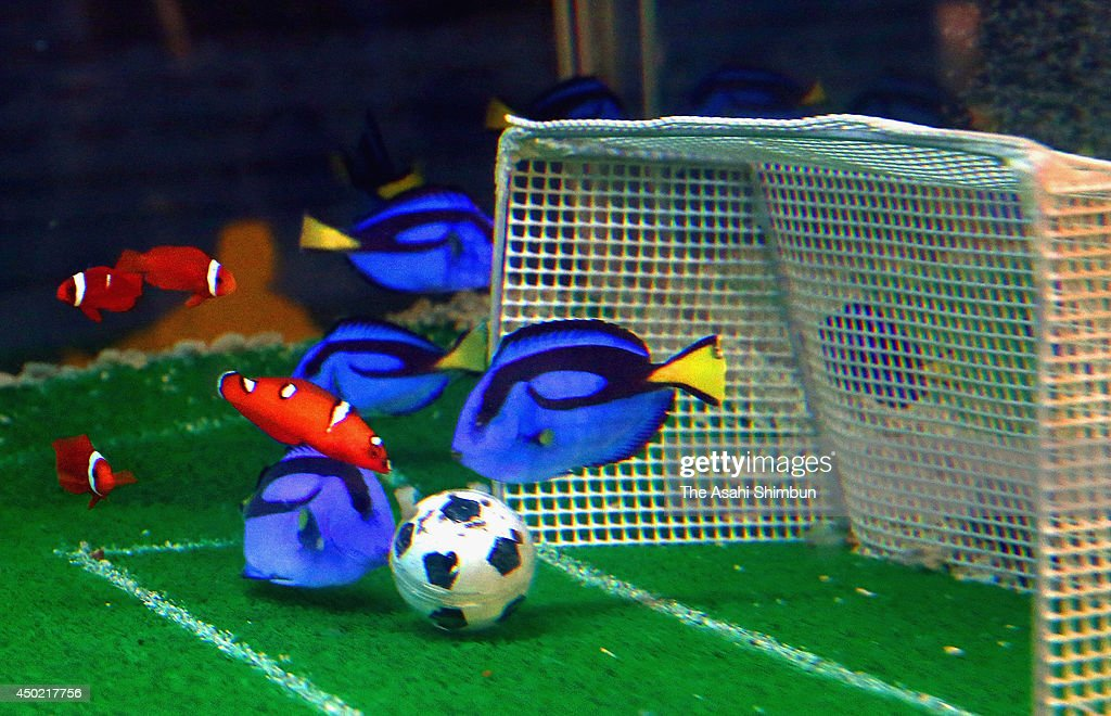 'Samurai Blue' surgeonfish take possession of a ball during an aquatic soccer match at Yokohama Hakkeijima Seaparadise on June 7, 2014 in Yokohama, Kanagawa, Japan. A squad of 'Samurai Blue' surgeonfish defeated a team of orange clown fish representing the Ivory Coast in an aquatic friendly ahead of the World Cup.