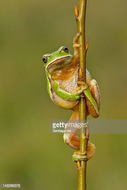 San Anton frog