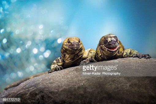 San Esteban Chuckwallas (Sauromalus varius) - 2 animals