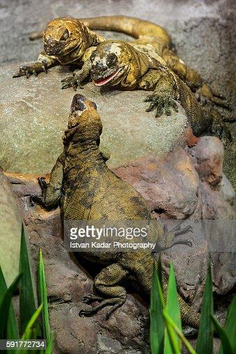 San Esteban Chuckwallas (Sauromalus varius) - 3 animals
