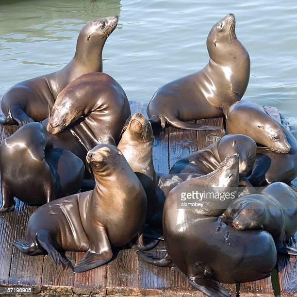 San Francisco sea lions at Pier 39