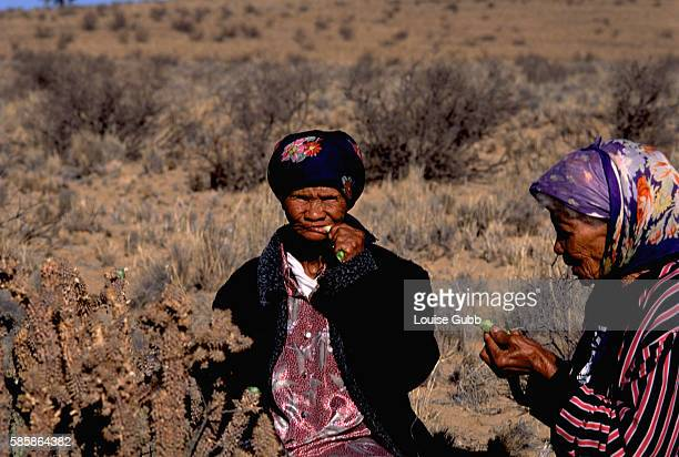 San grandmother Ouma Una and Ouma Kais chew on Hoodia cactus which the Bushmen have traditionally used to eliminate hunger and thirst while on long...