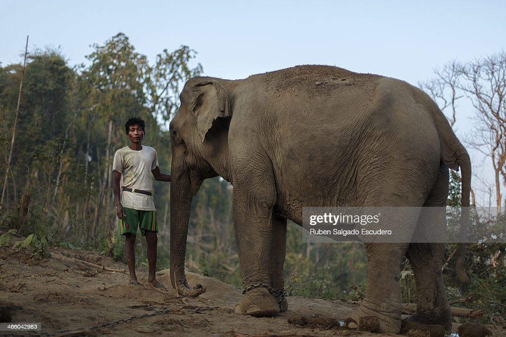 San Maung, 48, a third generation 'oozie' or elephant handler and his elephant pose for a picture on January 28, 2014 in Maing Hint Sal elephant logging camp, Myanmar. This government-owned camp holding 62 elephants and about 330 local villagers is one of many which are under threat due to upcoming changes in laws that reflect the steady depletion of forests in the country. The local government blames illegal loggers for this, while others are under the opinion that the government carelessly sold land for construction and development purposes to the wrong people. Either way, elephant logging which has been a source of income for many in this country for generations could have its days numbered which would effect many local people.