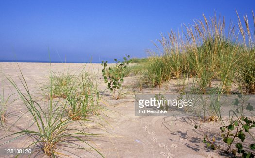 succession in sand dunes Sand dunes may grow in front and behind initiating dunes  over time a succession of plants colonises a dune system which also gives a longitudinal profile.