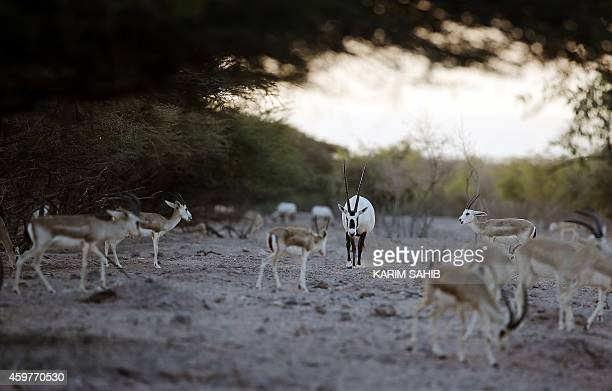 Sand Gazelles roam as an Arabian Oryx walks through the heard on Sir Bani Yas Island one of the largest natural islands in the United Arab Emirates...