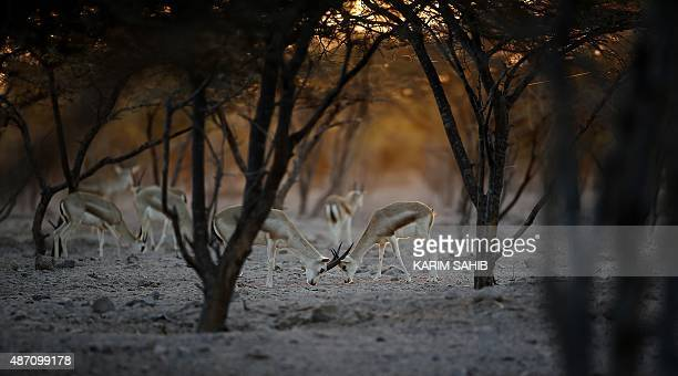 Sand Gazelles roam on Sir Bani Yas Island one of the largest natural islands in the United Arab Emirates on November 27 2014 The 87square kilometre...