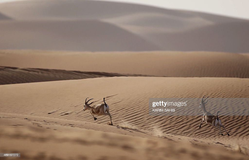 Sand gazelles run at the Arabian Oryx Sanctuary in Umm AlZamool some 290 kilometres south of Abu Dhabi near the Saudi ArabiaUAE border on April 10...