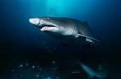 Sand tiger shark (carcharias taurus),  underwater view