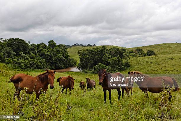 Sandalwood horses are seen at a meadow in East Sumba island on March 1 2013 in Sumba Island East Nusa Tenggara Indonesia Sandalwood pony horses are...