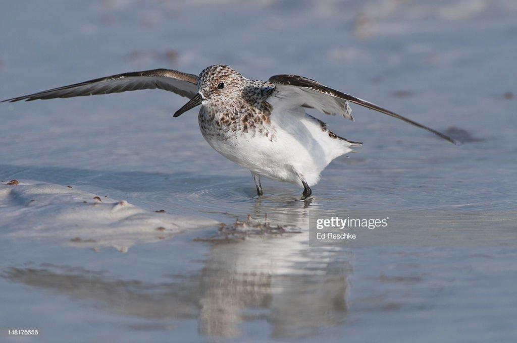Sanderling in spring, acquiring breeding plumage : Stock Photo