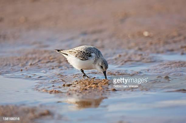 Sanderling on beach