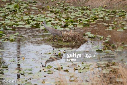 Sandhill Crane at Nest : Stock Photo