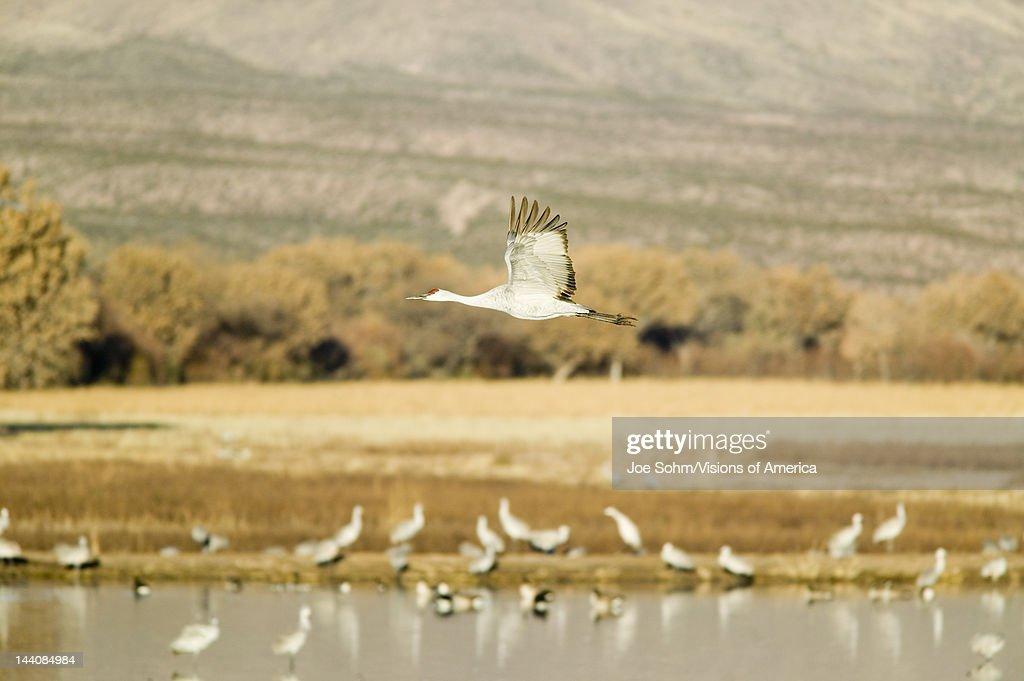 Sandhill crane flies over the Bosque del Apache National Wildlife Refuge at sunrise near San Antonio and Socorro New Mexico