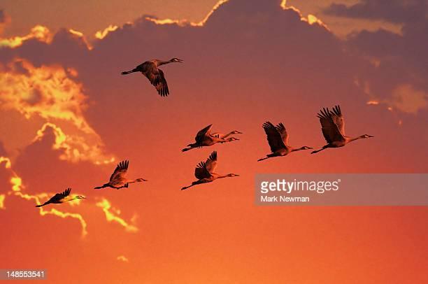 Sandhill crane (Grus canadensis) migration along Platte River.