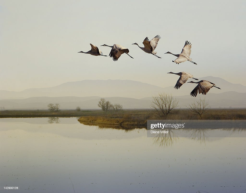 Sandhill cranes flying over a lake, Sacramento, California