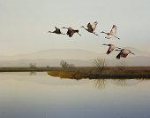 Sandhill cranes flying over a lake, Sacramento, California