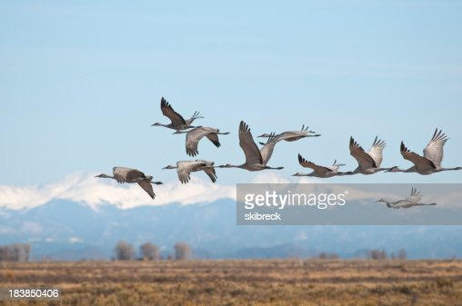 'Sandhill Cranes Over Monte Vista, Colorado'