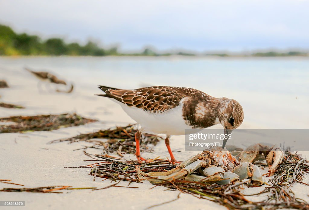 Sandpiper bird eating a crab on an ocean beach. : Stock Photo