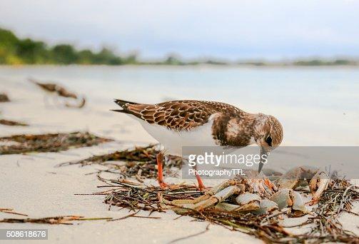 Sandpiper bird eating a crab on an ocean beach. : Stock Photo