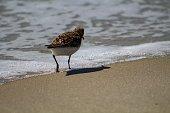 Sandpiper on the beach