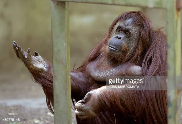 Sandra a 29yearold orangutan is pictured at Buenos Aires' zoo on December 22 2014 Sandra got cleared to leave a Buenos Aires zoo she has called home...