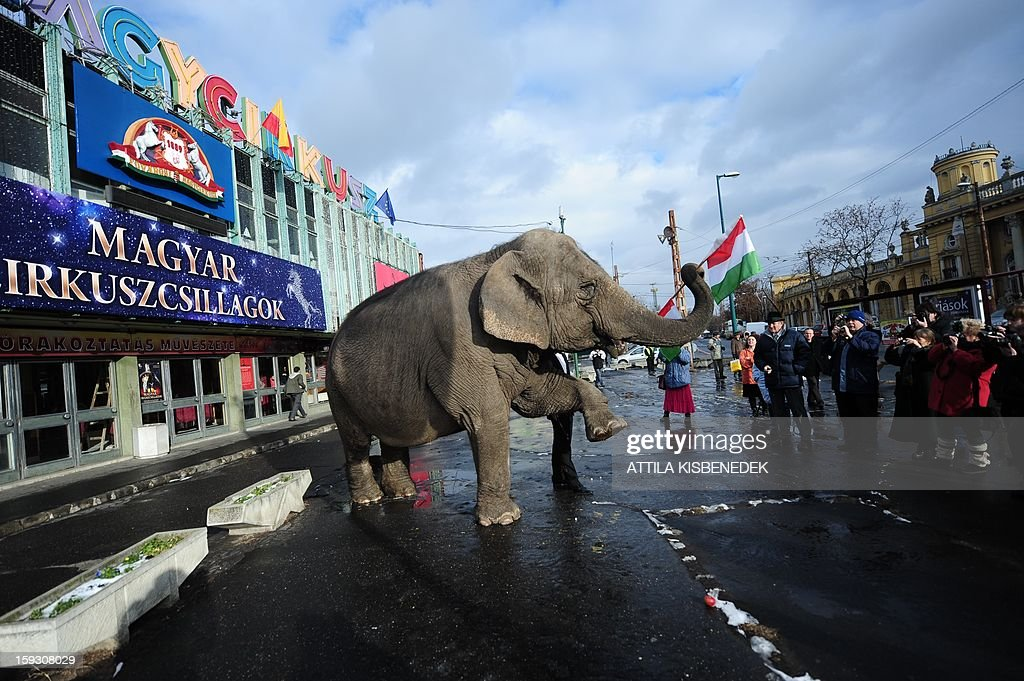 Sandra, the elephant of the Grand Circus of Budapest, poses with a Hungarian flag in front of the circus building in Budapest on January 11, 2013 after a rehearsal of a new production, title the 'Hungarian circus stars'. The premiere will be held on January 12. AFP PHOTO / ATTILA KISBENEDEK