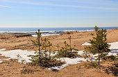 Pines and bushes on sandy beach with snow