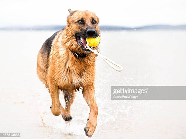 sandy beach with dog running in sea