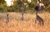 A trio of Sandy Wallabies captured at the Outback in the Northern Territory, Australia.