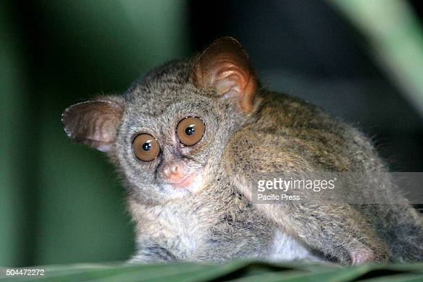 Sangihe tarsier foraging at night in the wild on the island of Sangihe North SulawesI Since 2008 the population of tarsiers Sangihe separated to be a...